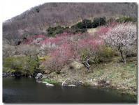 湯河原梅祭り-2-