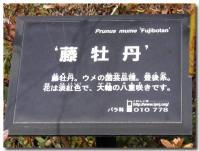 藤牡丹-1-