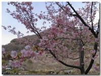 桜?-1-
