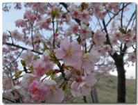 桜?-2-