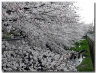 桜 満開-1-