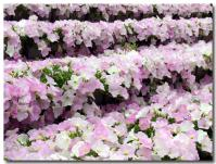 花の段々畑-1-