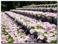 花の段々畑-2-