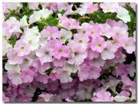 花の段々畑-3-