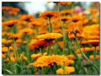 オレンジ色の花畑-1-