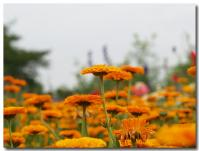オレンジ色の花畑-2-