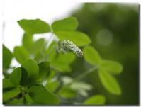 藤の花芽-2-