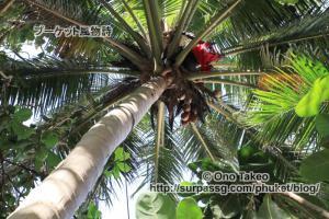 この記事「プーケット バナナビーチの椰子の実」の写真 (365-488)