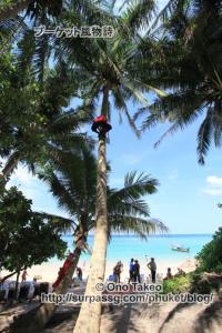 この記事「プーケット バナナビーチの椰子の実」の写真 (365-491)