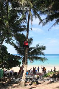 この記事「プーケット バナナビーチの椰子の実」の写真 (365-498)