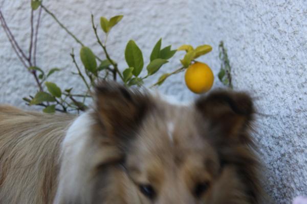 レモン1012+shushu