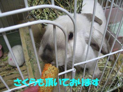 sakura 20111028 001