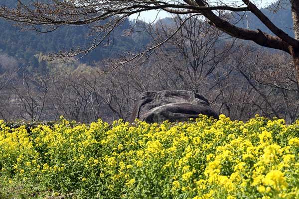 石舞台 菜の花1