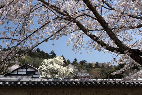 東大寺 桜2
