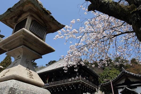東大寺 桜5