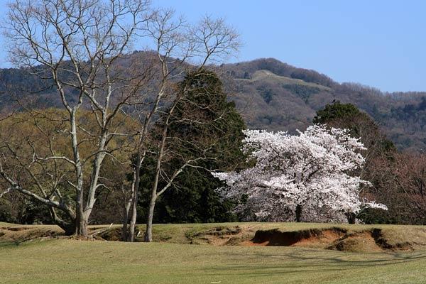 飛火野 桜