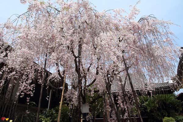 浄教寺 枝垂桜