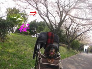 桜・ぷりん。