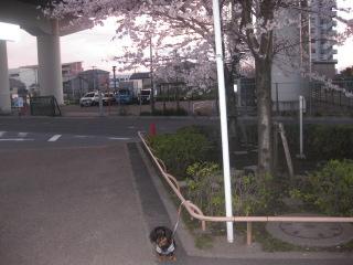 プリン・桜。