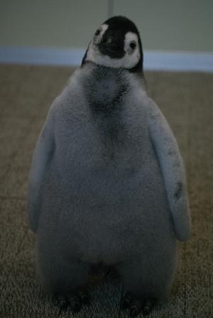 これもエンペラーペンギンのヒナちゃん