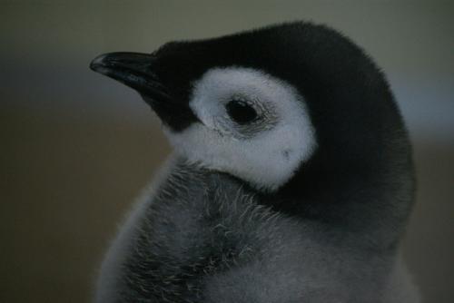 エンペラーペンギンのヒナちゃん