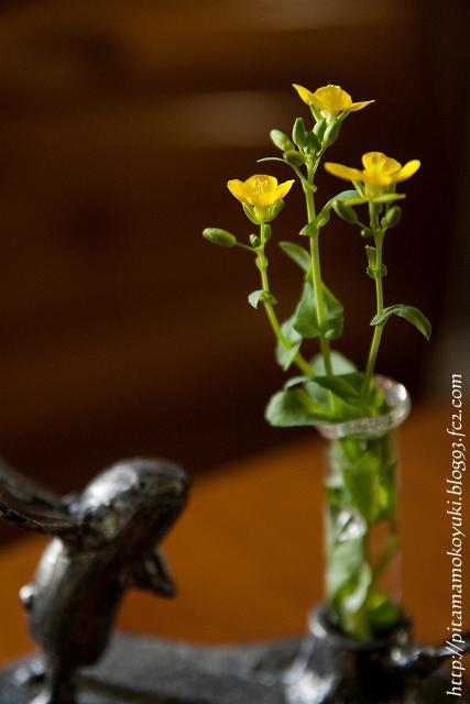 菜の花120407_1