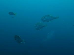 チュンポンピナクル 魚 ウスバハギ