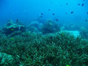 ツインズ サンゴ
