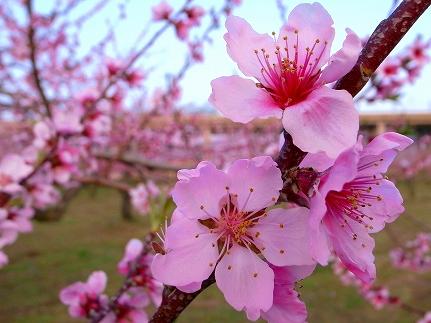 20101128_1403708桃の花