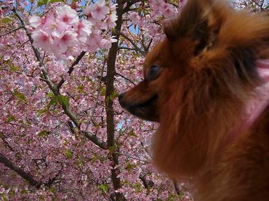 河津桜とりおん