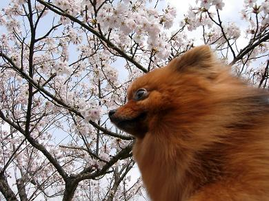 愛宕山公園の桜とりおん
