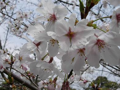愛宕山公園の桜