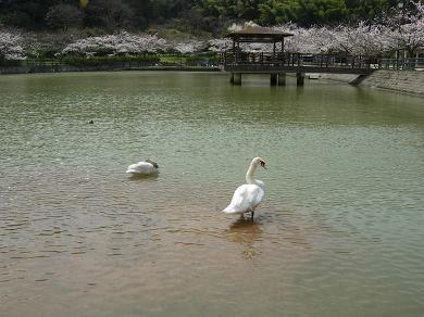 池の周りには桜!