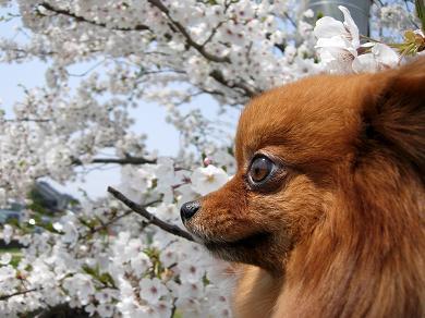桜並木とりおん