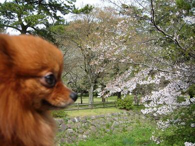 出雲大社の桜とりおん