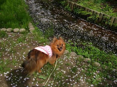 水面に浮かぶ桜の花びら