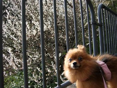 梅の花とりおん