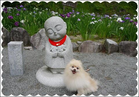 菖蒲2011④