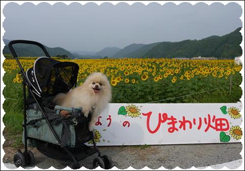 ひまわり2011②