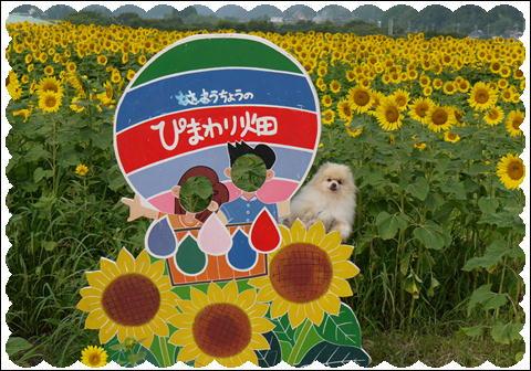 ひまわり2011④
