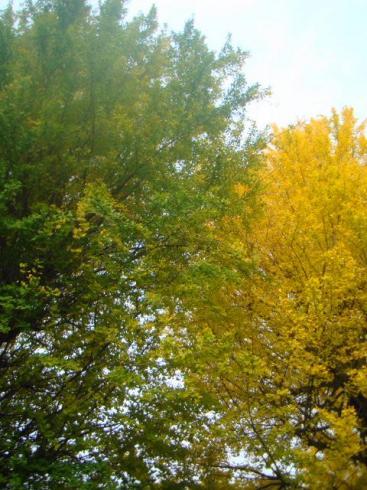 イチョウの大木2本