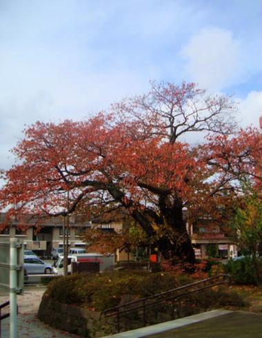 さくら公園の桜
