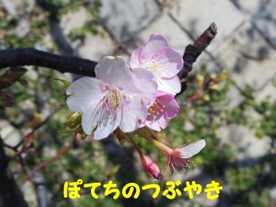 20130224 河津桜