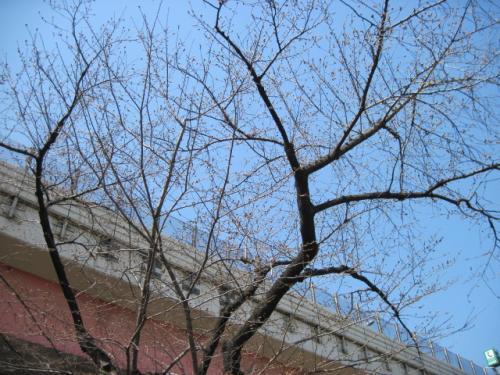 首都高と桜