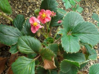 ピンクの花のイチゴ