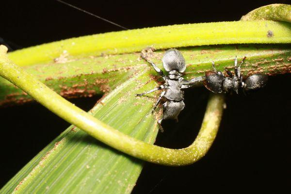 パナマのアリ