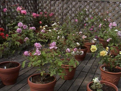 roses8.jpg