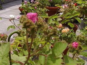 roses92.jpg