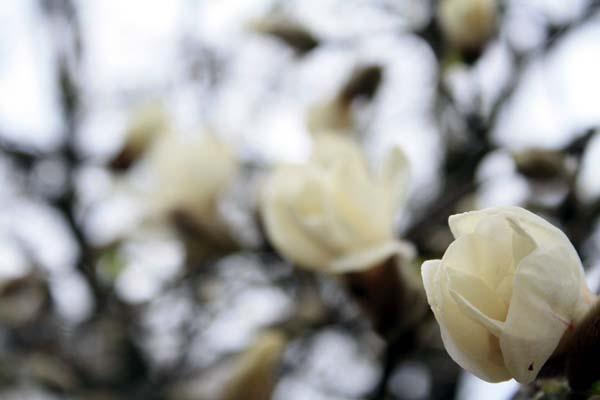 もうすぐ咲くねこぶしの花