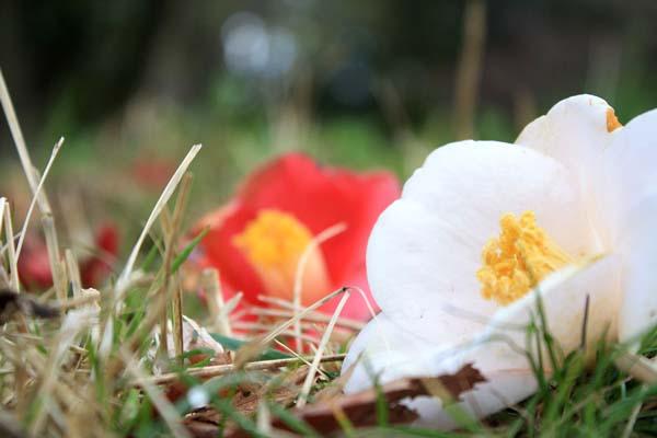 同じ木に赤と白が咲く。落ちてもなおも美しく。